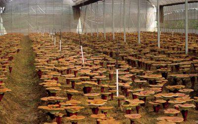 ¿Es mejor un reishi de cultivo tradicional o uno de cultivo moderno?