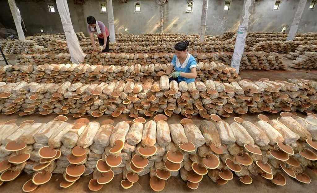 cultivo de reishi en bolsas
