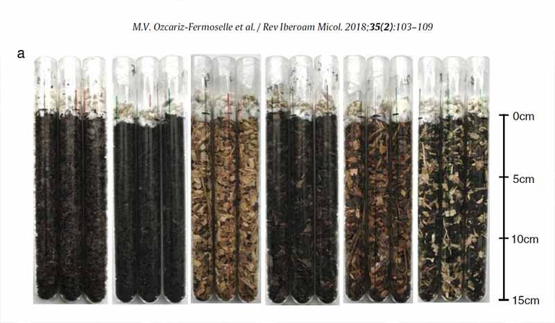 Evalución de crecimiento de reishi sobre residuos de nuez