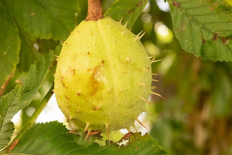 fruto inmaduro de castano de indias